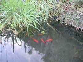 Casarina fishpond