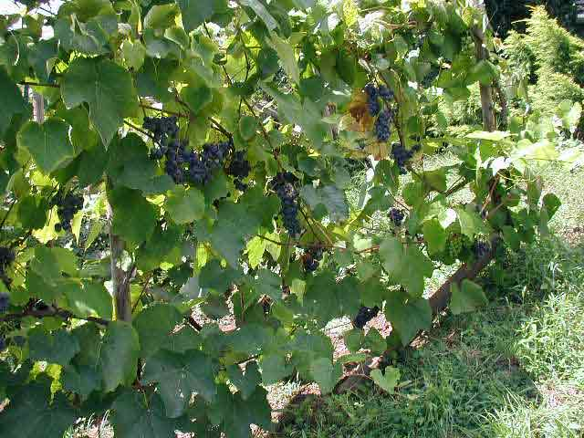 Casarina grapes