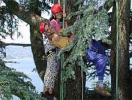 Casarina Tree climbing
